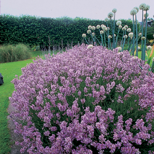 Lavandula angustifolia &#8216;Rosea&#8217;